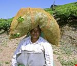 Female Tea Plantation Worker