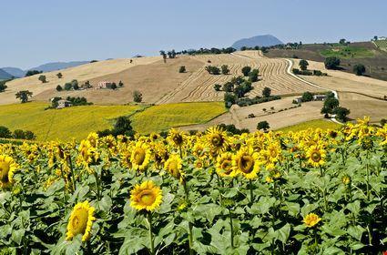 Foto Paesaggio estivo con girasoli a Cingoli - 425x280 - Autore ...