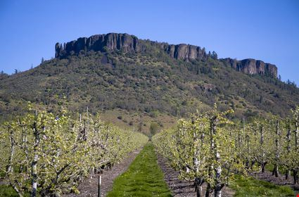 Pear Orchard with Table Rock