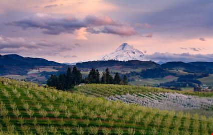 Sunset view of mount hood from an orchard in Hood River