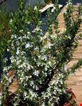 assisi rosmarino con fiori bianco
