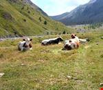 Mucche al pascolo in Val Thuras
