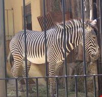 15858 roma zebra
