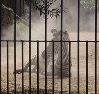 15859 roma zebra