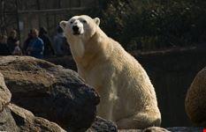 berlino l orso knut