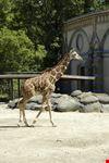 berlino una giraffa del giardino zoologico