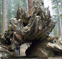 Il più grande tronco del mondo
