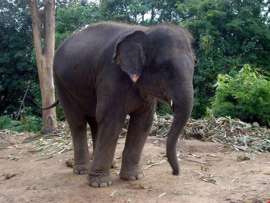 18931 phuket elefante
