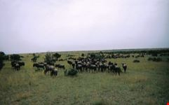mombasa mandria di gnu in movimento