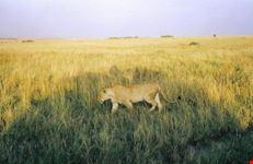 mombasa leonessa a caccia