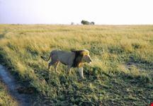 mombasa leone attorno alla nostra jeep