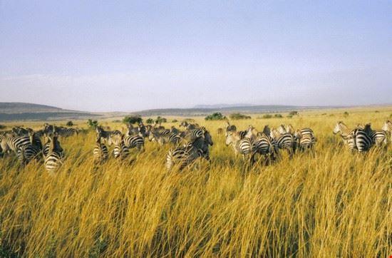 zebre in gruppo