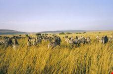 mombasa zebre in gruppo