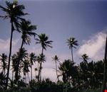 cartagena palme da cocco
