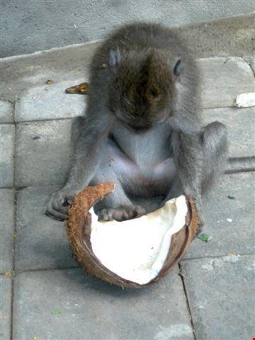 ubud scimmie e cocco