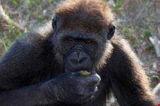 Una scimmia al giardino zoologico