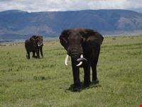 arusha elephant