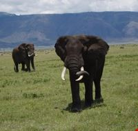 20012 arusha elephant