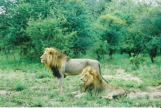 Lions seen on safari