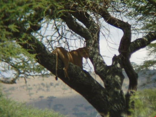 20291 arusha lioness of the tree