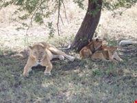 arusha lion pride