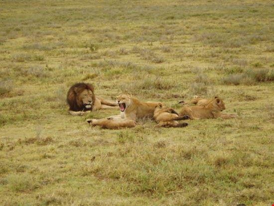 Lion on feel