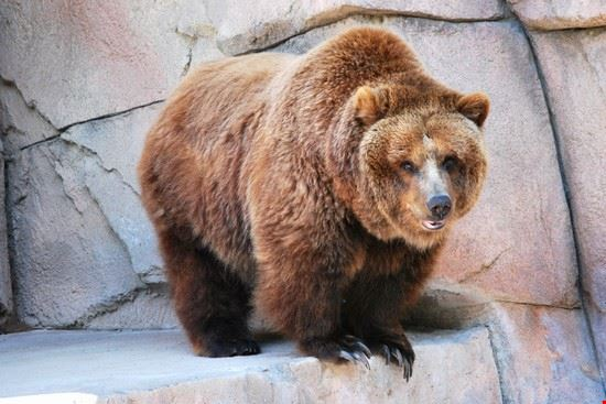 A grizzly bear at the Henry Vilas Zoo