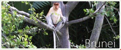 Proboscis Monkey of Brunei