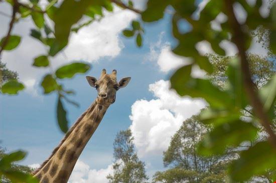 20621 nairobi giraffe center
