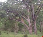 Two lionesses relax in a tree