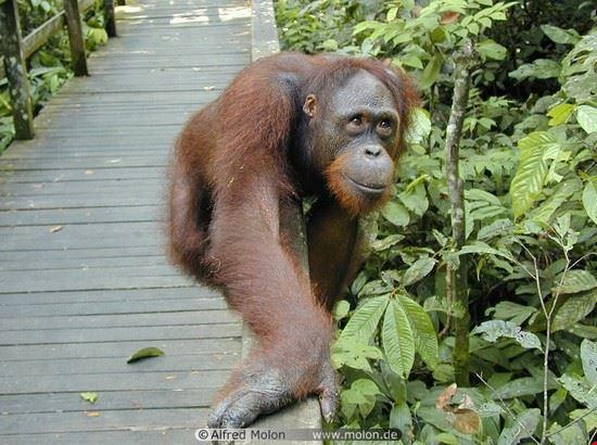 21480 kuala lumpur orang utan  man of forest