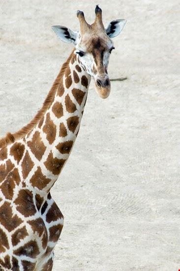nairobi la girafe de rotschild