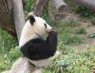 wien artenschutzprogramm fuer pandabaeren