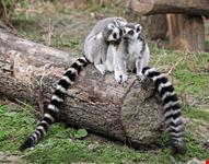 wien lemurenfamilie im tiergarten schoenbrunn