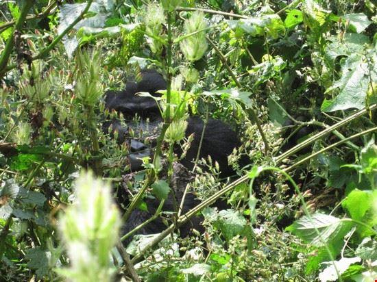 28300 kampala gorilla safari
