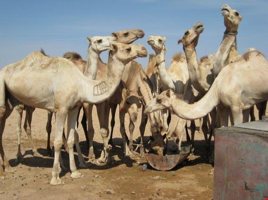 cammelli marsa alam