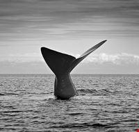 puerto madryn ballena franca del sur