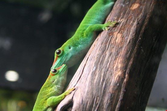 38333 genua geckos im aquarium