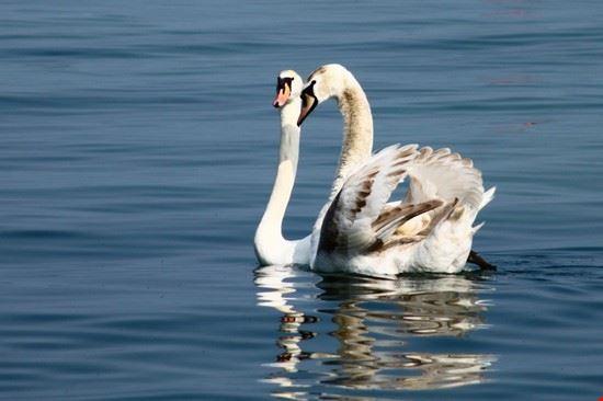 Cigni sul Lago di Garda