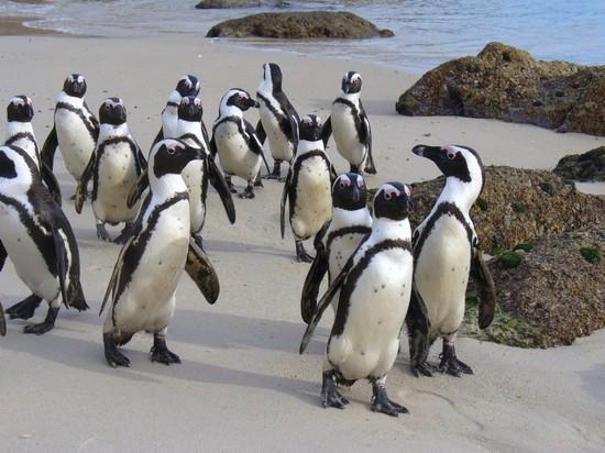 Foto pinguini a passeggio a citt del capo 550x412 for Disegni della casa del merluzzo del capo
