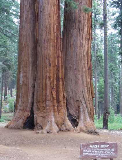 Photo incredibilmente grandi sequoia national park in