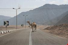 nuweiba camel crossing
