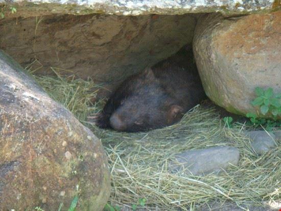 wombat cairns
