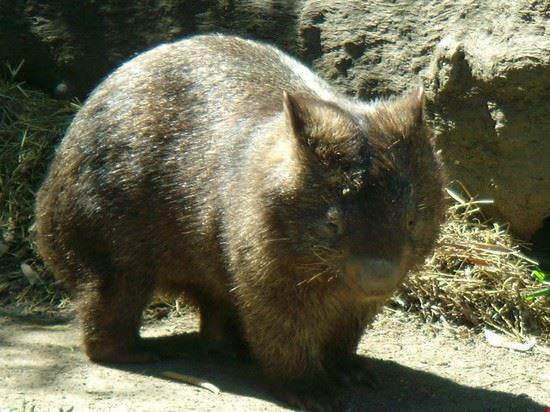 wombat in azione cairns