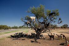 Caprette sugli alberi