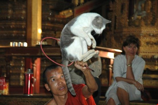 jumping cat monastry inle lake mandalay