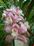 orchidee padova