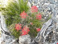 fiore nella roccia grand canyon