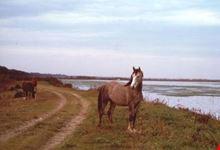 Pineta di San Vitale con cavalli