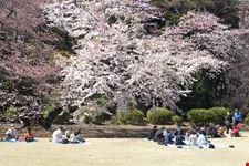 Tokyo in primavera, durante la fioritura dei ciliegi